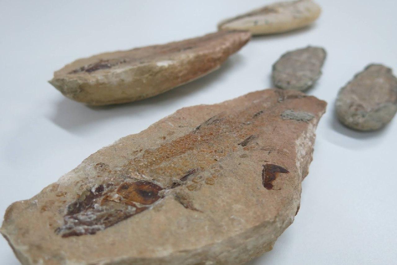 Passam de 1.000 os fósseis doados para Museu Plácido Cidade Nuvens, em Santana do Cariri