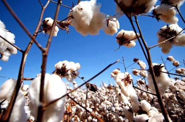 Preço do algodão sobe no campo, mas indústria descarta alta expressiva ao consumidor e desabastecimento
