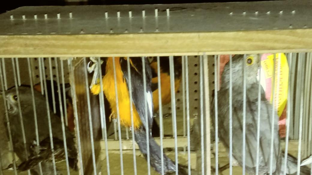 ICMBio apreende pássaros transportados ilegalmente da Flona Araripe, em Crato
