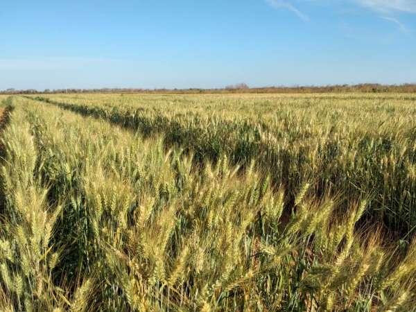 Ceará pode se tornar polo produtor de trigo